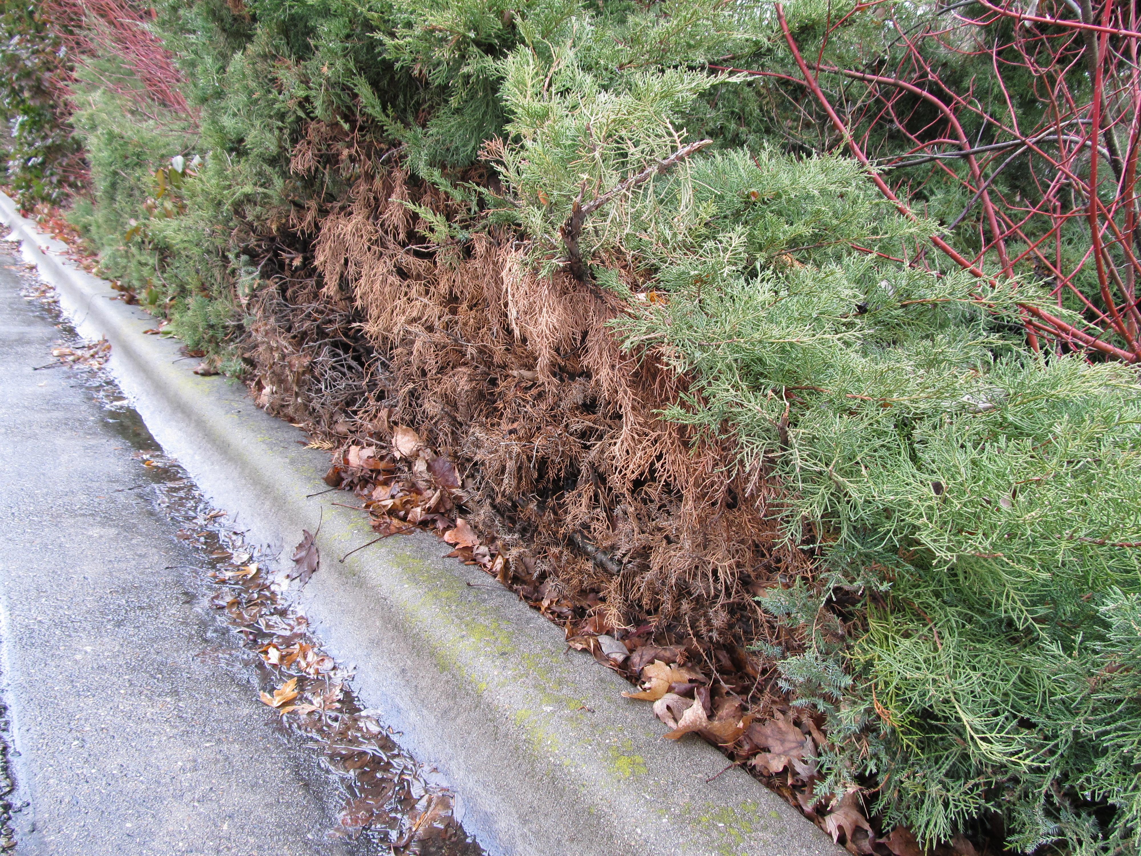 Drought tolerant plants awkward botany for The juniper