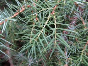 Juniperus communis (Common Juniper)