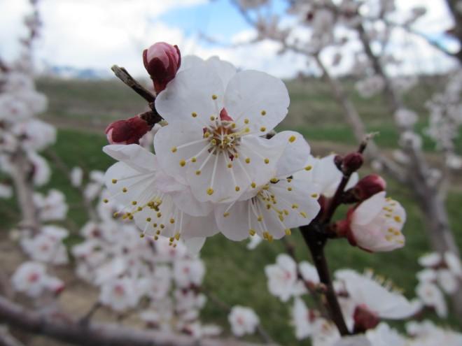 Aprium blossoms