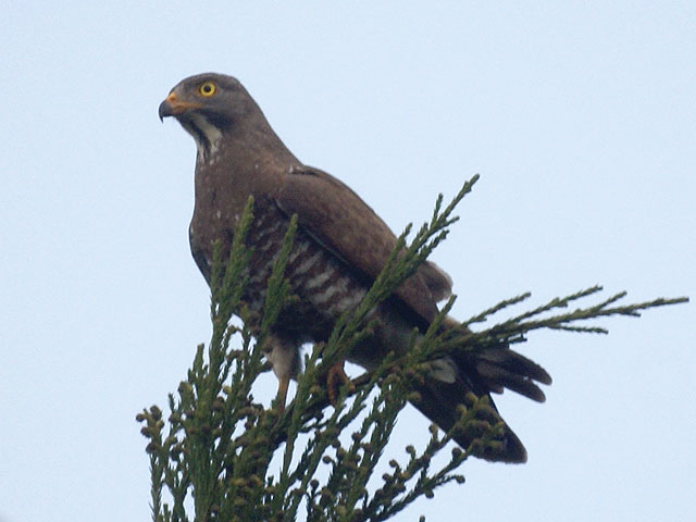 The gray-faced buzzard (Butastur indicus) is listed as vulnerable in Japan. It nests in forests and preys on insects, frogs, and other animals found in grasslands and rice paddies. It's decline has been linked to the abandonment and development of traditionally farmed rice paddies. (photo credit: wikimedia commons)