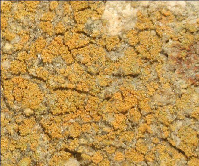 President Obama's lichen - Caloplaca obamae - discovered and described by Kerry Knudsen (photo credit: UCR Herbarium/J.C. Lendemer