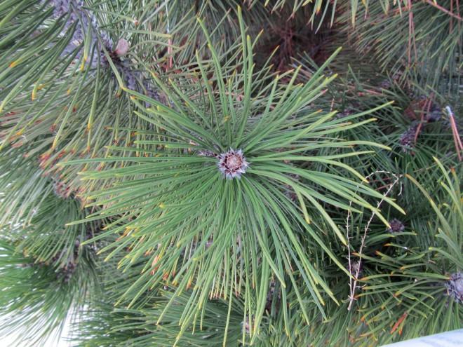 Pinus heldreichii 'green bun'