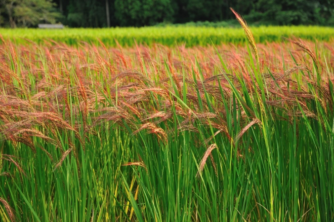 Red rice paddy in Japan - photo credit: wikimedia commons