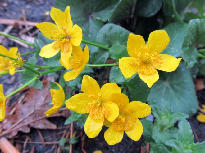 Marsh Marigold (Caltha palustris) - Photo taken at Idaho Botanical Garden.