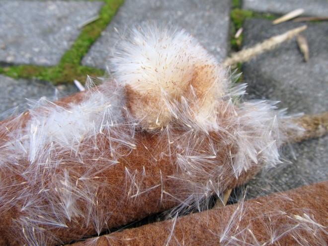 cattail fluff