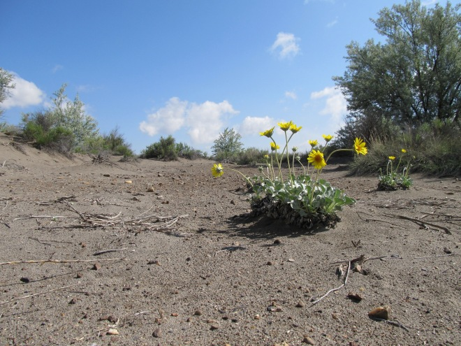 Nakedstem sunray (Enceliopsis nudicaulis)