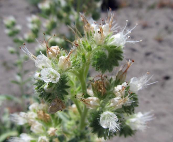 Phacelia (Phacelia hastata)