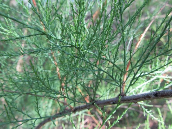 Saltcedar (Tamarix chinensis)