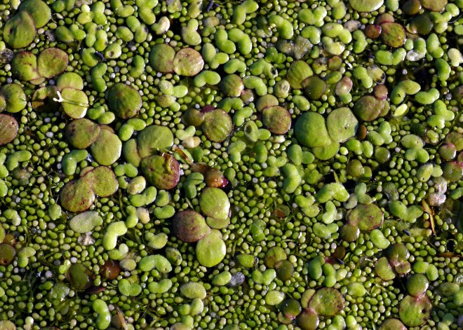 A collection of various duckweed species - photo credit: wikimedia commons