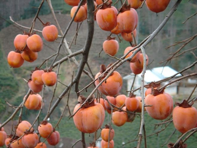 Fruits of Japanese persimmon (Diospyros kaki) - photo credit: wikimedia commons