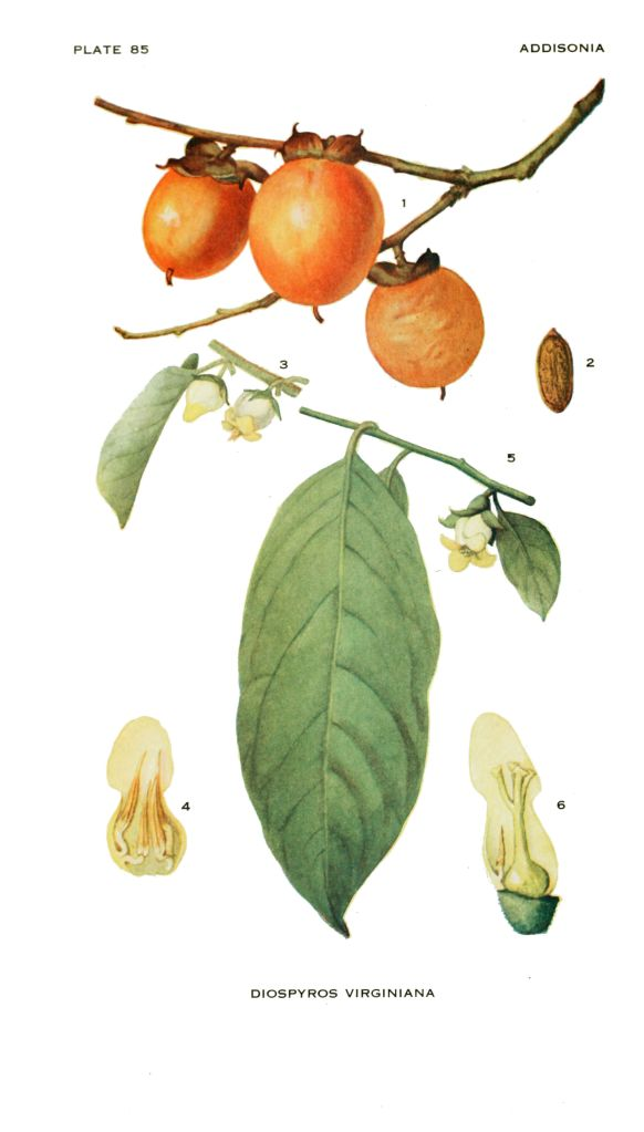 Common Persimmon (Diospyros virginiana), native to North America - photo credit: eol.org