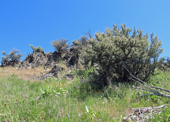 Gnarly, old curl-leaf mountain mahogany (Cercocarpus ledifolius) growing out of a rock outcrop