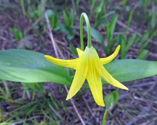 Erythronium grandiflorum - yellow glacier lily
