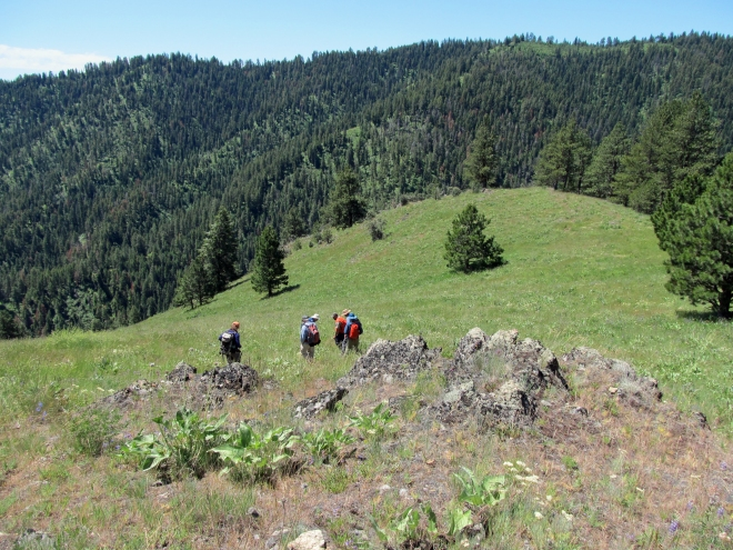 Searching for Silene spaldingii - an Idaho endemic - on the mountainside