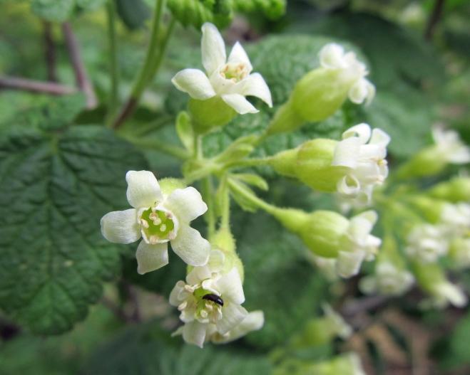 Ribes viscosissimum - sticky currant