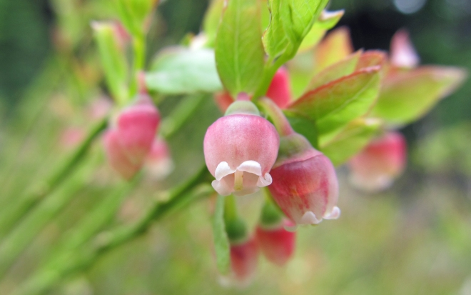 Vaccinium scoparium - whortleberry