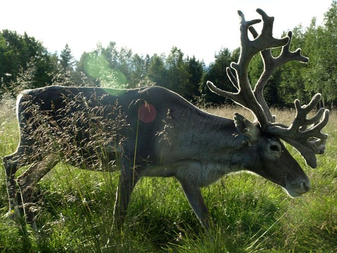 Reindeer in Lapland, Finland (photo credit: wikimedia commons)