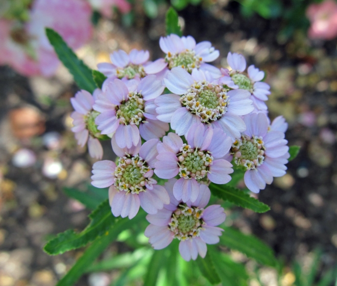 Achillea sibirica ssp. cam 'Love Parade'