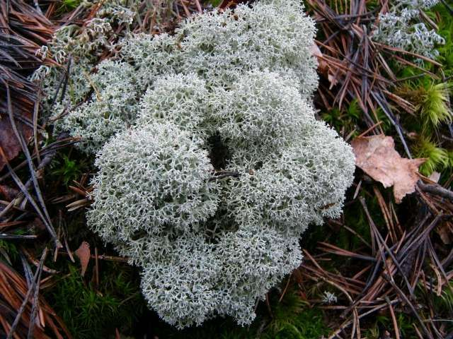 "Star reindeer lichen (Cladonia stallaris) - researchers found that the concentrations of radioactivity in this species of lichen was unevenly distributed in that ""the top layer of the lichen was twice the concentration of the middle layer."" (photo credit: www.eol.org)"