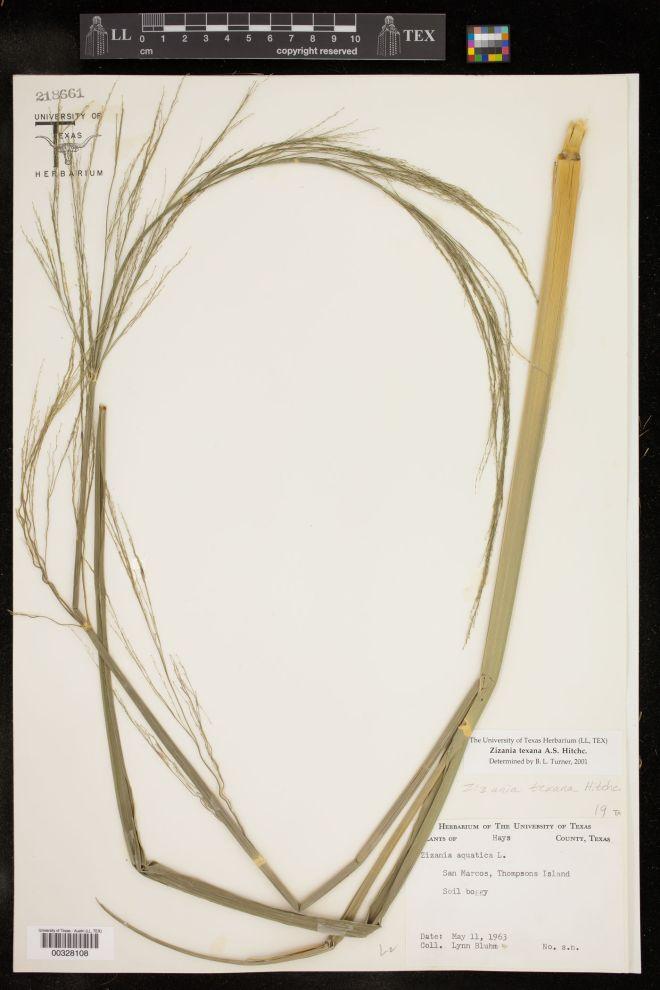 Herbarium voucher of Texas wild rice (Zizania texana) - photo credit: University of Texas Herbarium