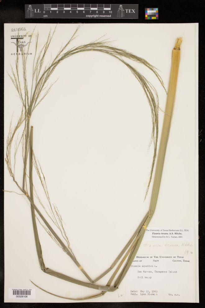 Herbarium voucher of Texas wild rice (Zizania texana) - photo credit: University of Texas Herbarium