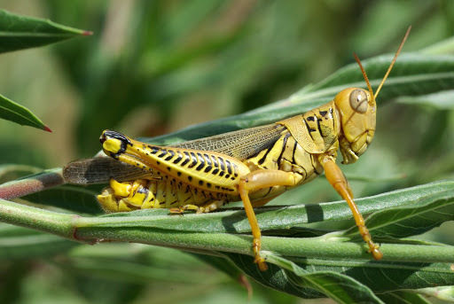 """Differential grasshopper (Melanoplus differentialis) - one of the four grasshoppers that Whitney Cranshaw lists as """"particularly injurious"""" in his book Garden Insects of North America. (photo credit: www.eol.org)"""