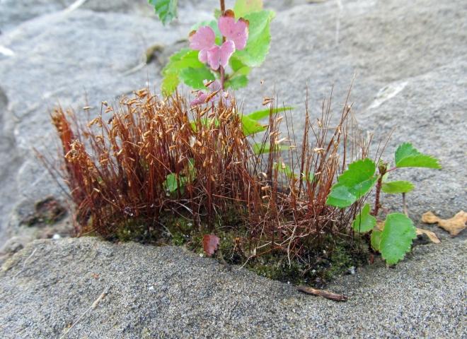 moss as nurse plant