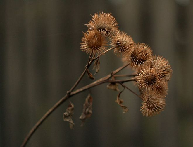 The burs of Arctium - photo credit: wikimedia commons
