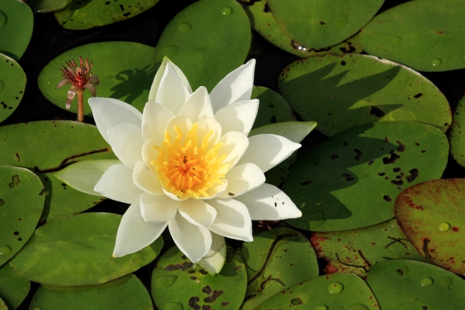 Fragrant water lily (Nympaea odorata) - photo credit: wikimedia commons