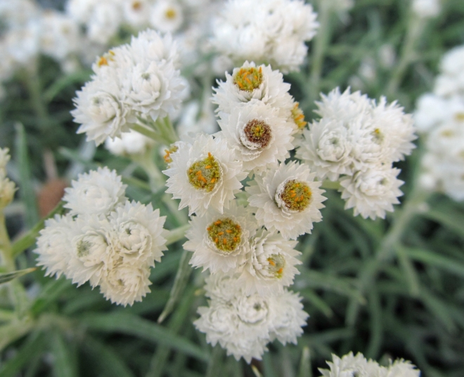 pearly-everlasting-4