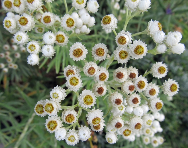 pearly-everlasting-6