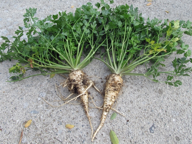 root-parsley-3