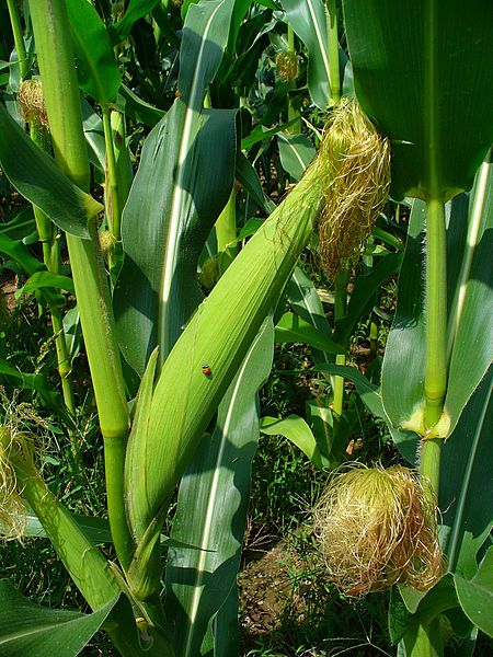 "Female inflorescence (or ""ear"") of Zea mays subsp. mays - photo credit: wikimedia commons"