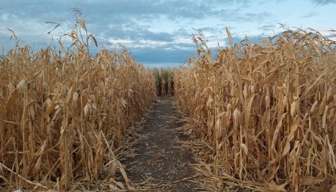 corn-maze-2
