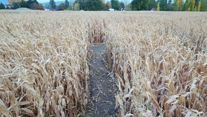 corn-maze-3