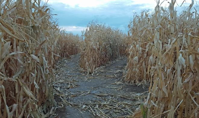 corn-maze-4