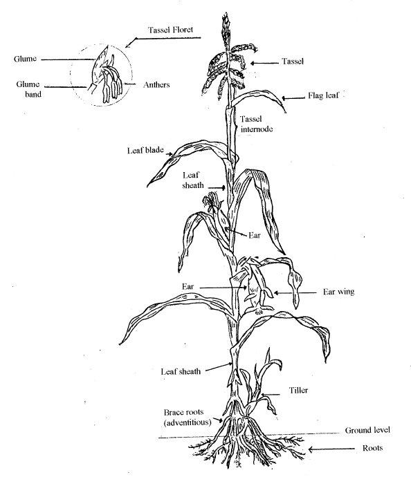 maize anatomy and the anatomy of a maze  u2013 awkward botany