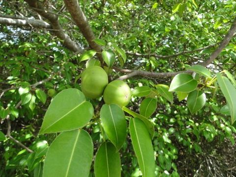 Manchineel tree a.k.a. little apple of death (Hippomane mancinella) - photo credit: www.eol.org