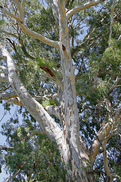 Red River Gum Tree Eucalyptus camaldulensis - photo credit: wikimedia commons
