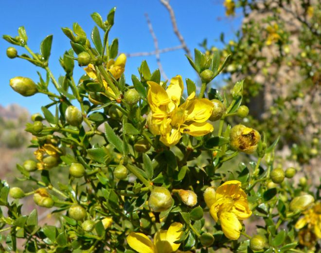Creasote Bush (Larrea tridentata) - photo credit: wikimedia commons