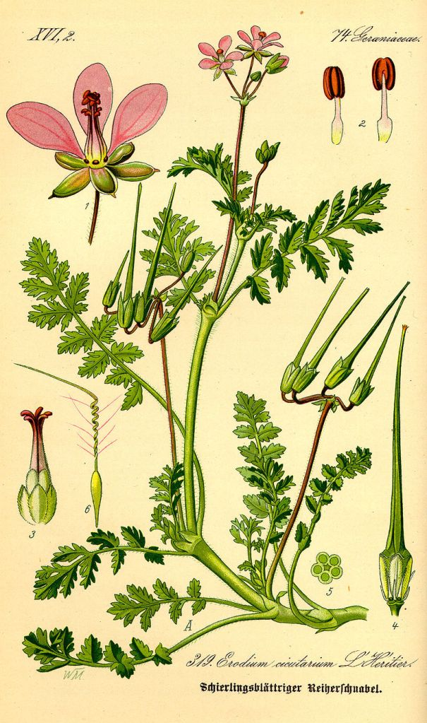 Redstem stork's bill (Erodium cicutarium) is an introduced species commonly consumed by desert tortoises - image credit: wikimedia commons