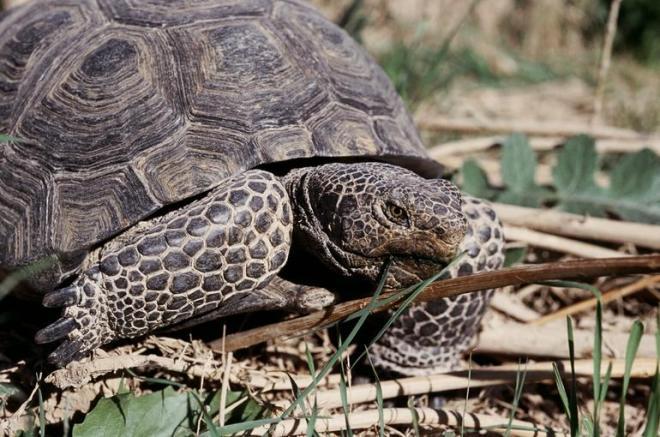 Desert Tortoise (Gopherus agassizii) - photo credit: wikimedia commons