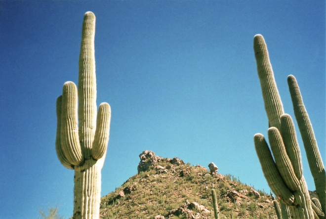 Saguaro cactus (Carnegiea gigantea) - photo credit: wikimedia commons