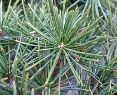 Cedar of Lebanon (Cedrus libani 'Pendula')
