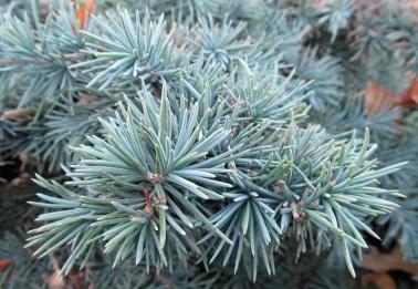 Deodar Cedar (Cedrus deodara 'Prostrate Beauty'