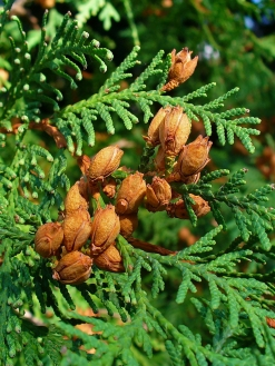 Northern White-cedar (Thuja occidentalis)