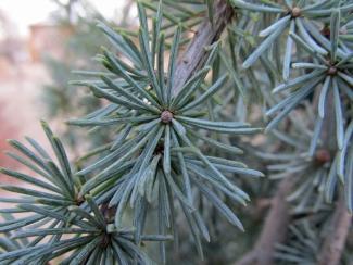 Weeping Blue Atlas Cedar (Cedrus atlantica 'Glauca Pendula')