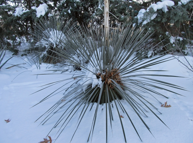 Yucca in the snow at Idaho Botanical Garden in Boise, Idaho