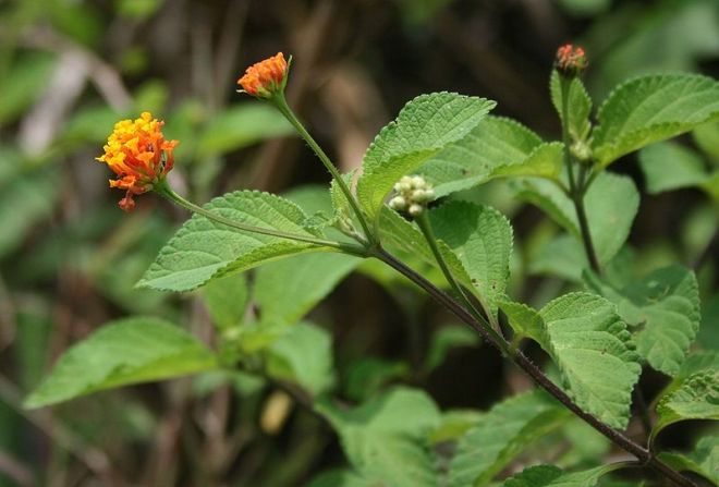 Introduced to New Zealand from the American tropics, largeleaf lantana (Lantana camara) forms dense thickets that can outcompete native plant species. (photo credit: wikimedia commons)