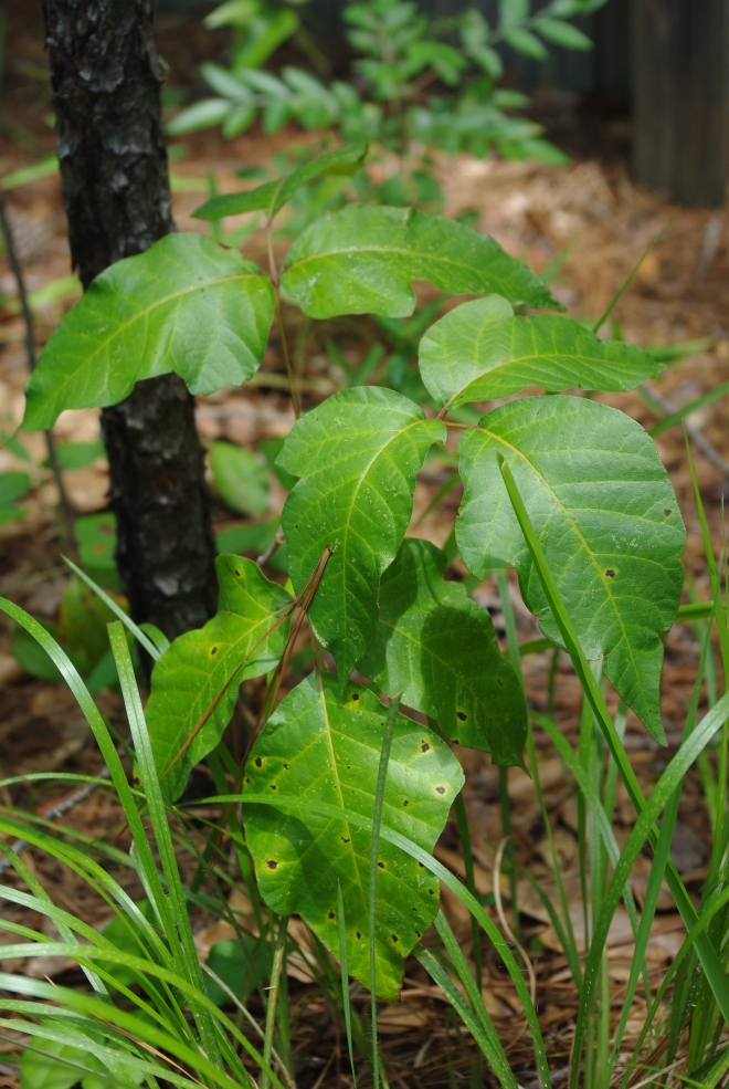 Leaflets of three? Let if be. Poison ivy (Toxicodendron radicans). photo credit: wikimedia commons